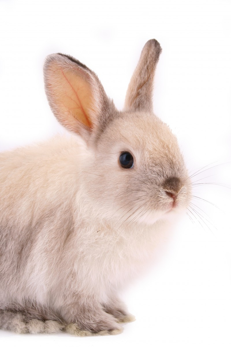 rabbit gene to be edited