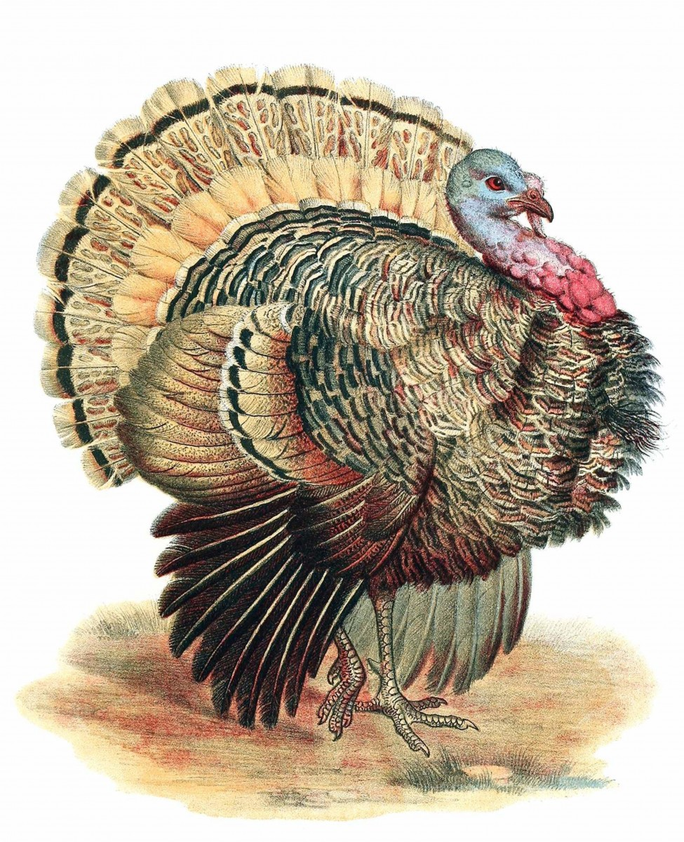 Cars and turkeys don't mix