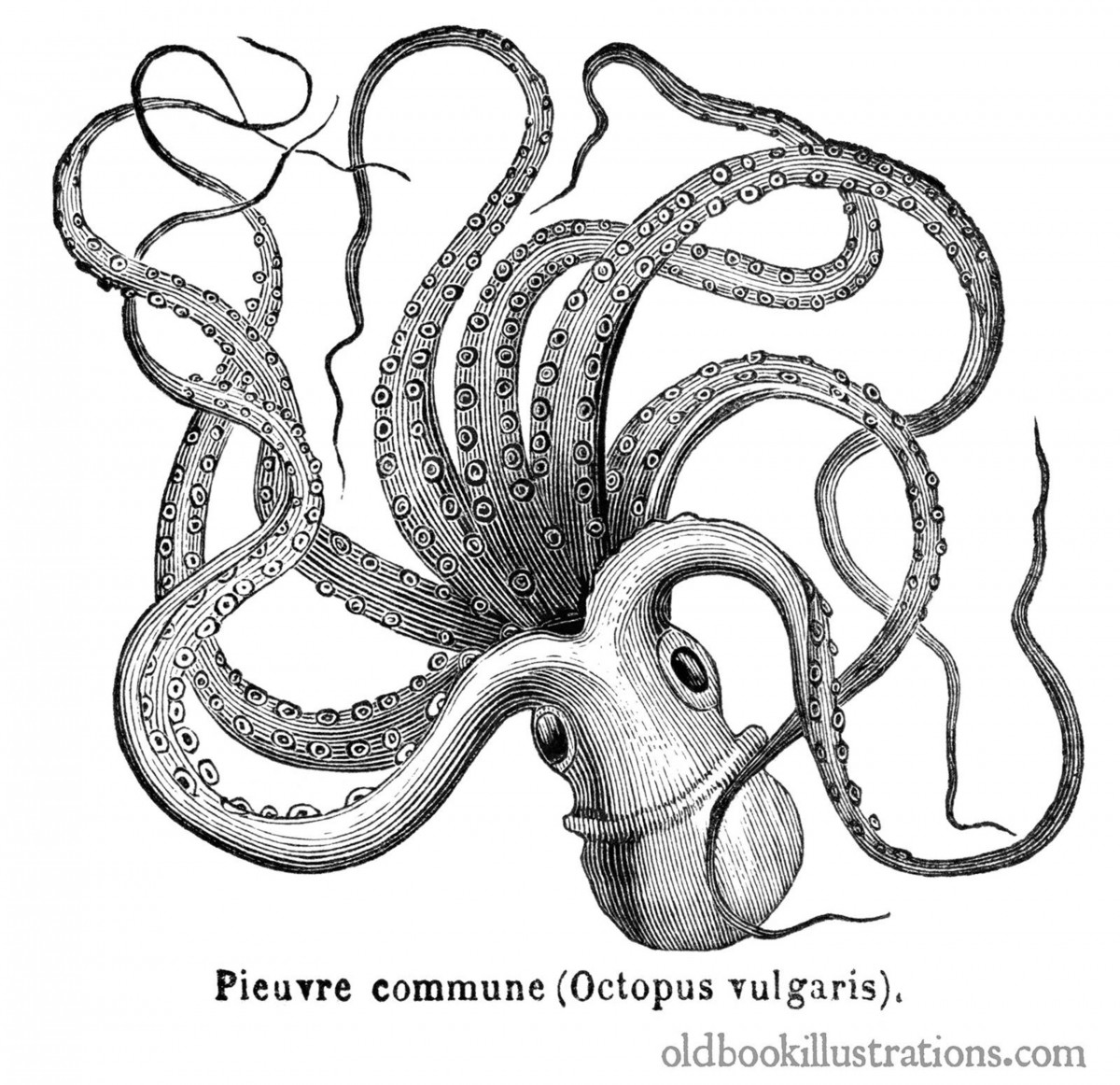 one octopus short of octopuses