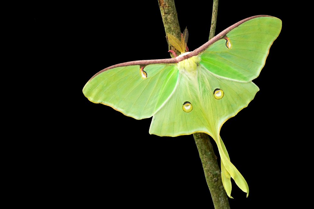 the luna, one of many moths species